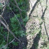 エンドウ豆に竹