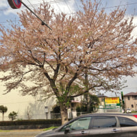 桜ヶ丘の桜並木