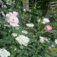 oneboke  今日の庭  バラ ナエマとブラッシュアイスバーグそしてオルレア と 花ノ停留際終了