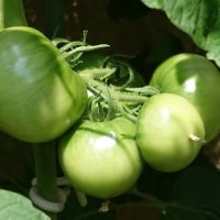 トマト&ミニトマト