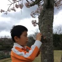 桜は ほぼ 散る