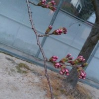 桜まだこんなもん・・・(;´Д`)