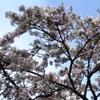 今年の桜はずいぶん遅い