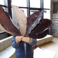 ホオノキの大きな葉っぱ