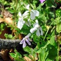 白花オオアラセイトウ「例に漏れず」