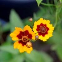 ハルシャギク・ジャノメギクの花 6.28