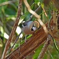モズ♂・シメ・ダイサギほか・数種の鳥たちの姿を・・・