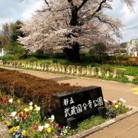 都立武蔵国分寺公園の桜1