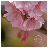 河津桜 19