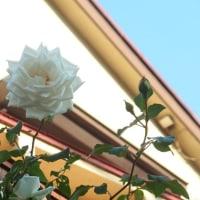 バラの花?