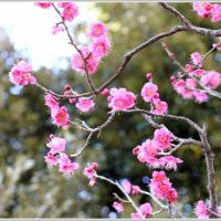 梅の花がほころび始めました♪