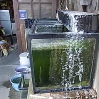 ヒナモロコの水槽がたいへん。。。