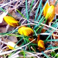 花巻の我が雑草園にも春がささやかにやってきているのだ