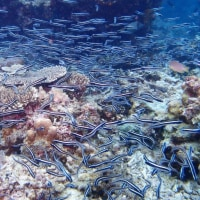 Scuba Diving at Sombrero of Anilao, Philippines