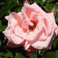 春の薔薇(神代植物公園2017/5/11)