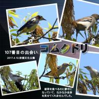 岩槻文化公園でコムクドリ(107番目の出会い)とキビタキ(今季初)に出会った