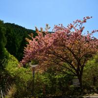二本の牡丹桜