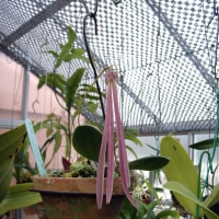 Bulb.jacobsonii (=plumatum)