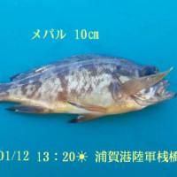 笑転爺の釣行記 1月12日☀ 久里浜・浦賀