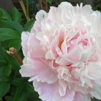 咲きました芍薬