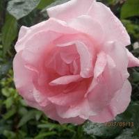 最近の薔薇事情