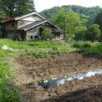 里芋を植える