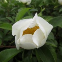 「なにわイバラ」が咲き始めました。