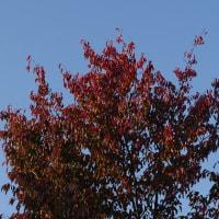 桜の紅葉黄葉