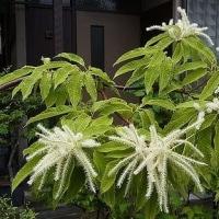 季節の花「栗」