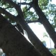 畑の木に蝉