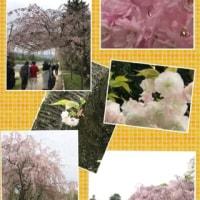 歩こう会、オマケの桜!