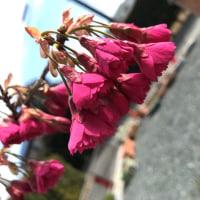 悲観ではなくヒカンザクラ。~緋寒桜とも寒緋桜とも言います~