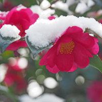 雪のサザンカ