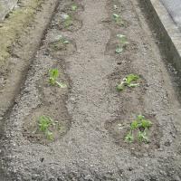 野菜の苗とタネを購入