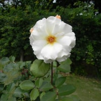 薔薇の種類の多さに。。。