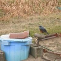 畑に 大きめの小鳥が来ました。