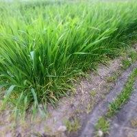 春の強風、小麦すくすく。