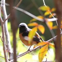今日は日常鳥がよく出てくれたが カワセミは不在だった!!