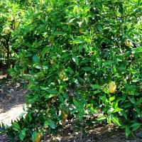 弓削瓢柑の収穫