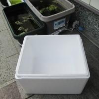 稚魚を発泡スチロール箱へ移動。