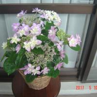 母の日紫陽花。