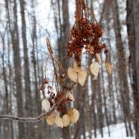 雪の上の落し物イワガラミの果実