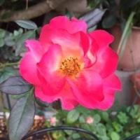 うちの薔薇♪