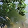 ●夏の兼六園 霞ヶ池 徽軫灯籠 唐崎松 鯉 カルガモ アオバズク 眺望台から新幹線