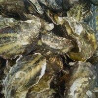 寄島の牡蠣