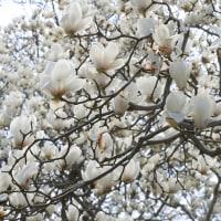 白木蓮満開となる・小鳥たちで賑わう県立相模原公園