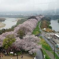 京都!背割堤の桜