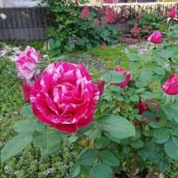 薔薇の寿命って?
