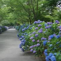 宮リバー度会パークの紫陽花見てきました~(^^)