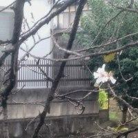 え、もう桜が咲きました